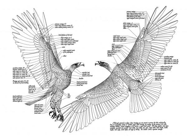 Adlerzeichnungen